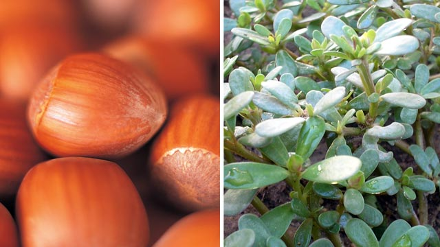 PHOTO: Hazelnuts and Purslane.