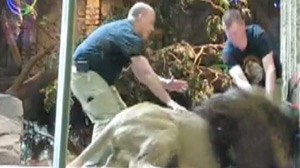 Las Vegas Lion Attack Caught on Honeymooners Video