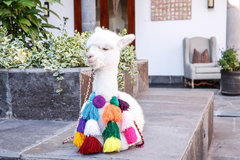Panchita the baby alpaca at JW Marriott El Convento Cusco.