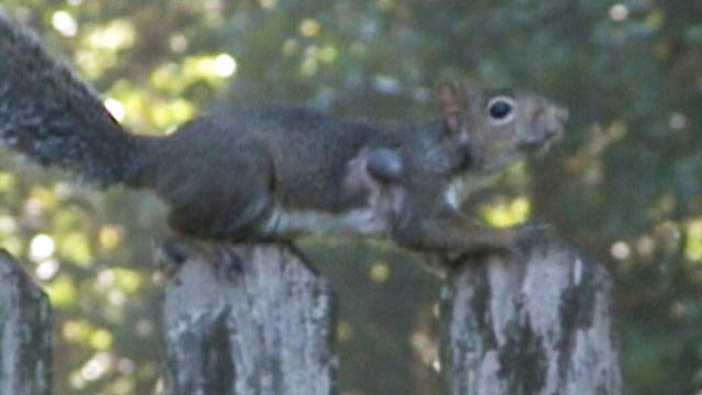 VIDEO: A squirrel in Louisiana is still climbing trees and gathering nuts after taking a bullet in the arm.