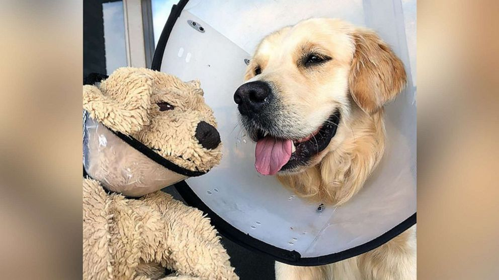 e13931bf78b0 This golden retriever adorably cares for his 'mini-me' stuffed animal best  friend - ABC News