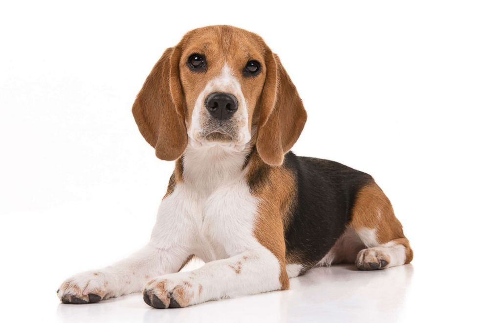 Beagles are No. 6 on the AKC's most popular dog breeds of 2018.
