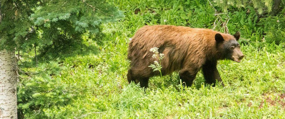 PHOTO: A bear in the San Juan Mountains, near Silverton, Colorado.
