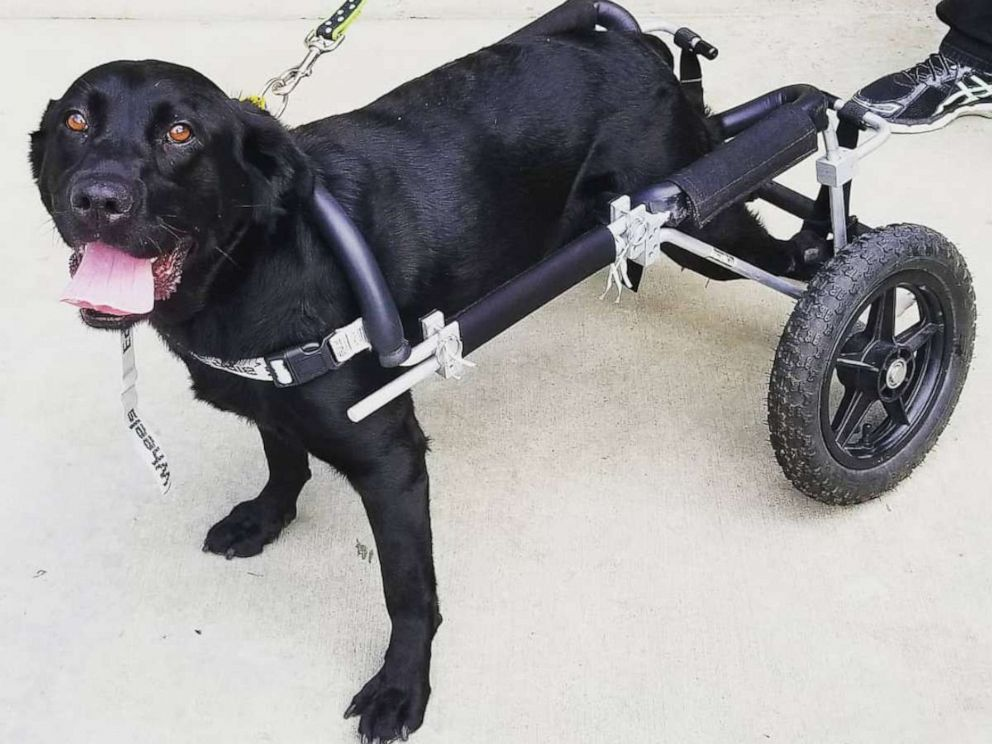 PHOTO: Maggie, a black Labrador Retriever, has found her forever home with a California family who owns a nonprofit serving people with special needs.