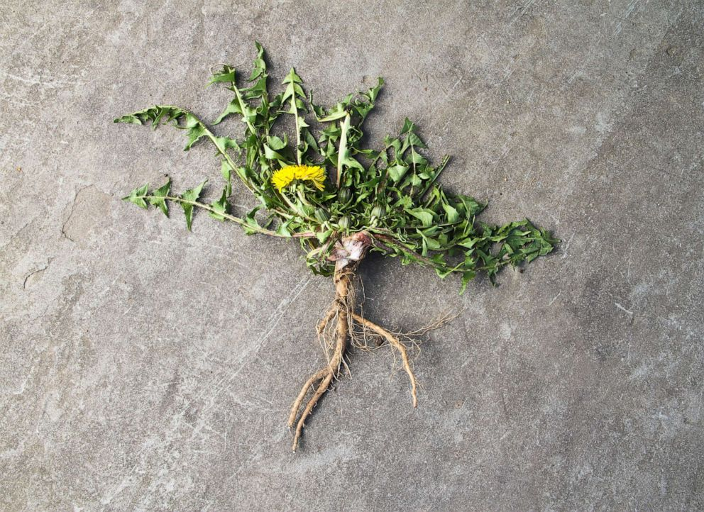 PHOTO: Dandelion root.