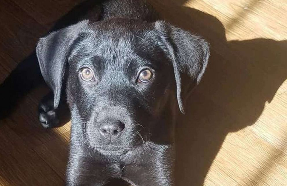 PHOTO: Emerson, a black lab mix, was rescued out of a shelter in Florida and brought to the foster-based rescue, NFR Maine where he was eventually adopted.