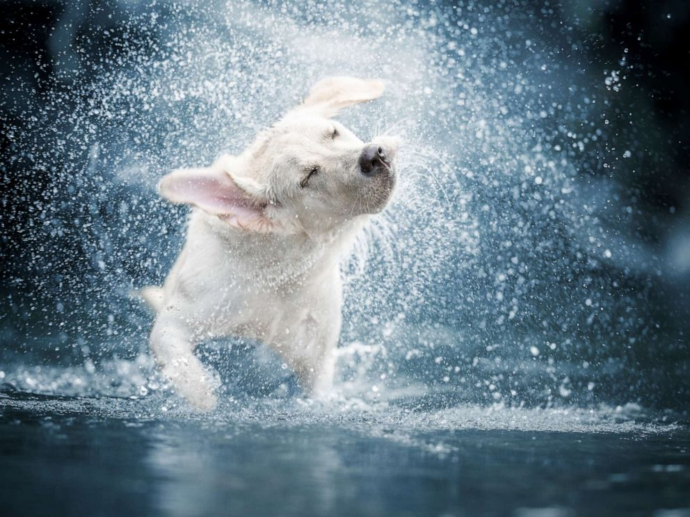 PHOTO: A dog shakes water off in this stock photo.