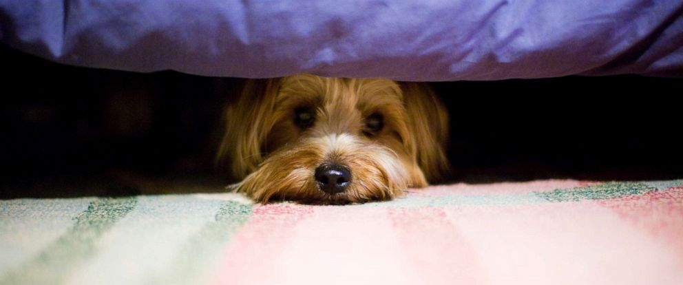 PHOTO: Scared Yorkshire terrier dog hiding under bed.