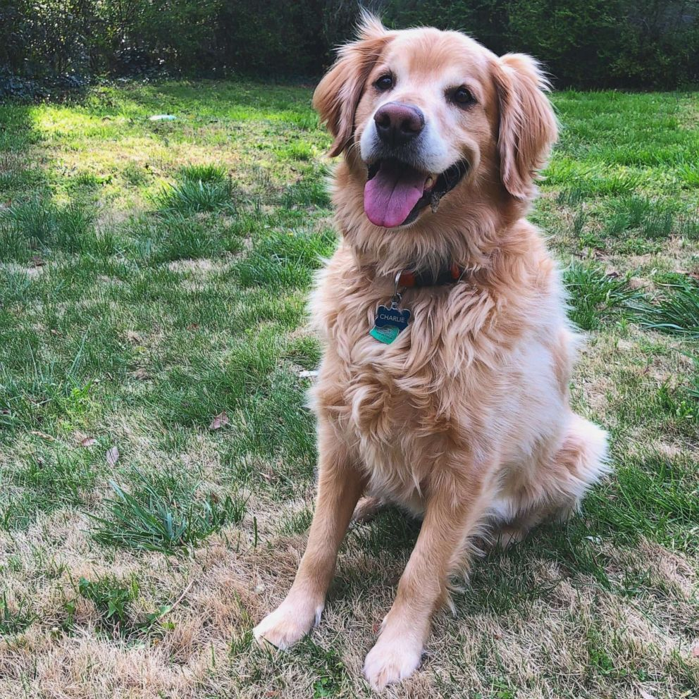 PHOTO: Sallie Hammett of South Carolina, shared touching words about her Golden Retriever, Charlie, on Twitter where thousands liked and commented. Charlie did Sept. 13, 2020 at the age of 7 from incurable lymphoma.