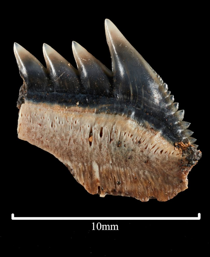 PHOTO: Philip Mullaly found a set of shark teeth in Jan Juc along Victorias Surf Coast where a team of paleontologists at Museums Victoria excavated the fossils.