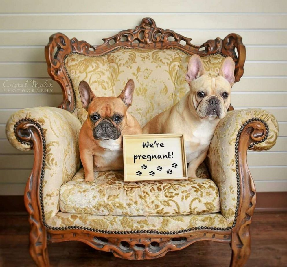 PHOTO: Cozette, the expecting mother, worked her angles alongside proud dad, another French bulldog named Boudreaux.