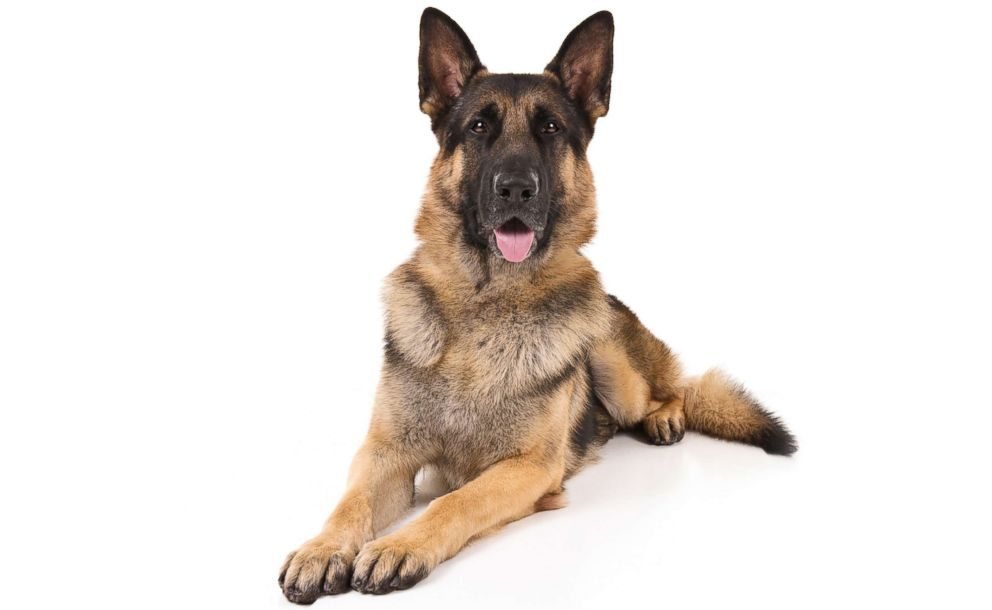PHOTO: German shepherds are No. 2 on the AKCs most popular dog breeds of 2018.