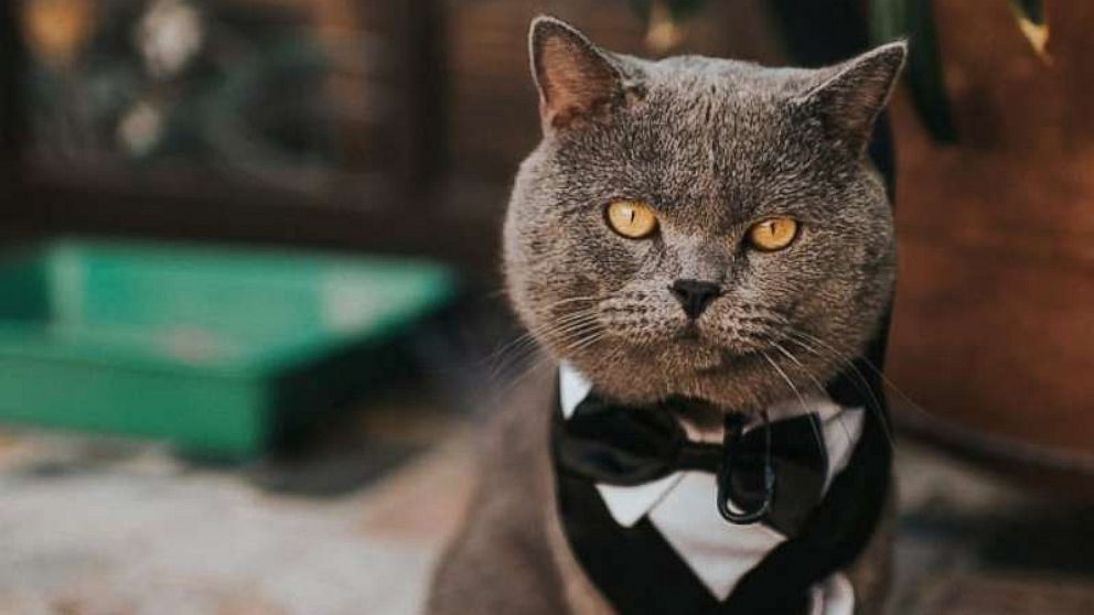 Couple's cat steals the show as groomsman in his very own ...