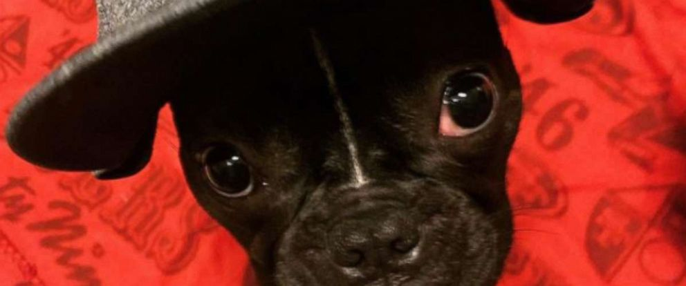 PHOTO: Zoe, the one-year-old French bulldog, is the NFLs first and only emotional support dog