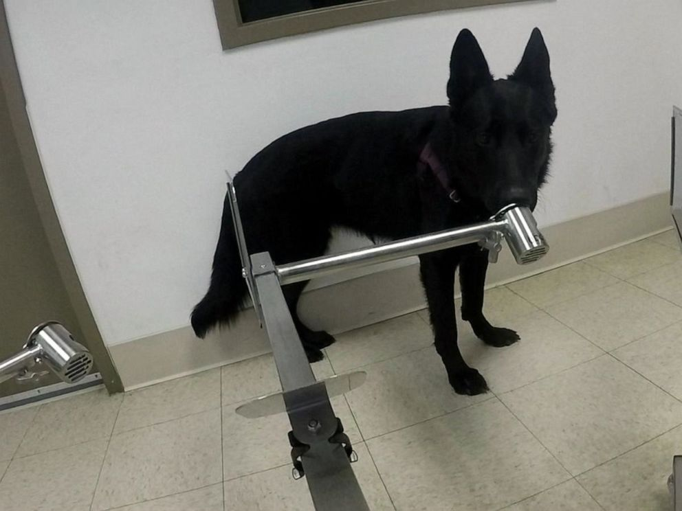 PHOTO: Ivey, a 2-year-old German Shepherd, trains at the Penn Vet Working Dog Center of the University of Pennsylvania in Philadelphia.