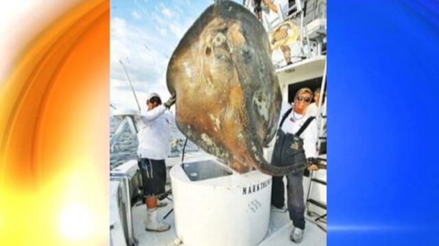 VIDEO: Fisherman hooked an 800-pound skate but released it back into the ocean.