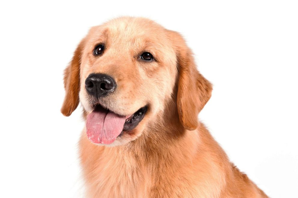 PHOTO: Golden retrievers are No. 3 on the AKCs most popular dog breeds of 2018.