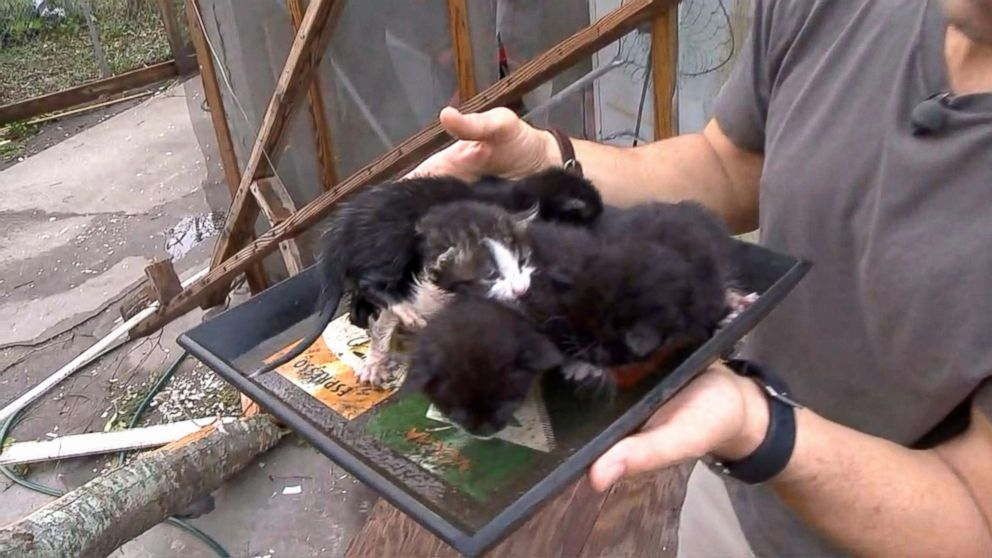 PHOTO: ABC News Rob Marciano encountered stray kittens stranded in the storm zone following Hurricane Michael in Panama City, Florida.
