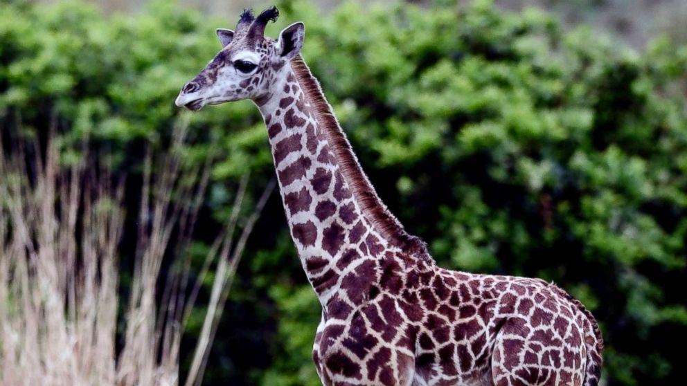 A 2-month-old male Masai giraffe named Jabari has officially joined the giraffe herd.