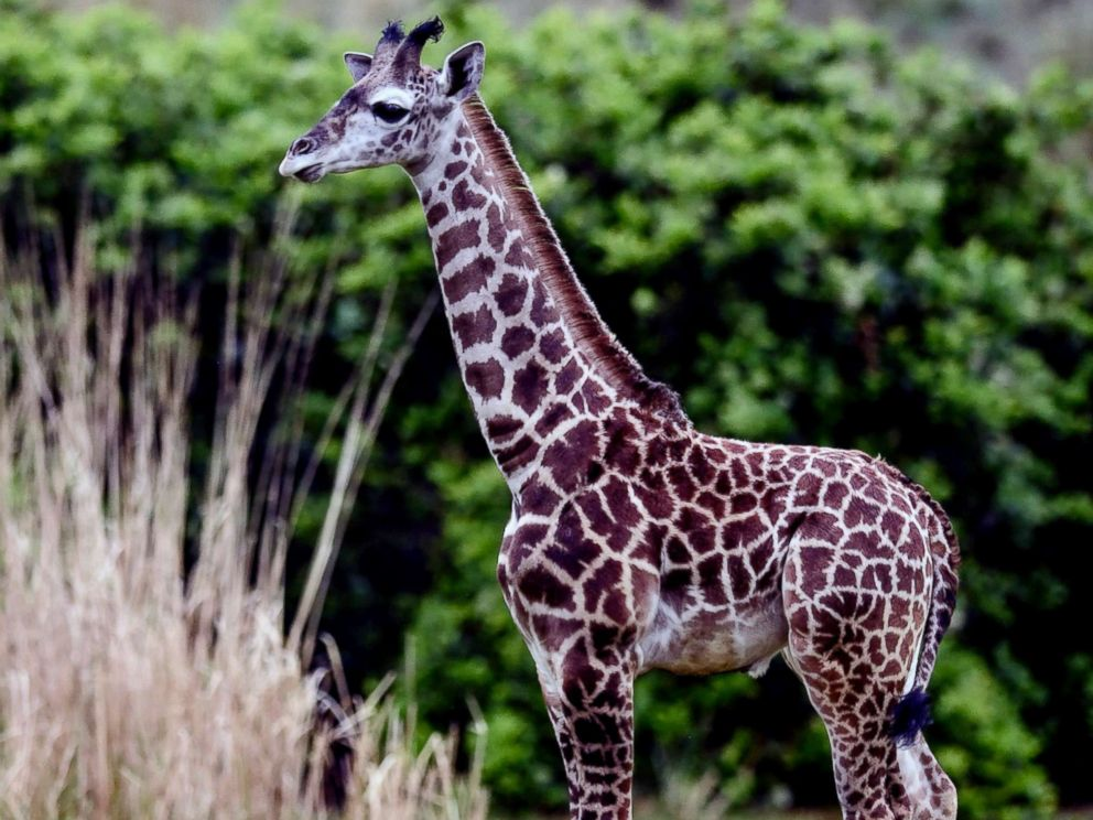 PHOTO: A 2-month-old male Masai giraffe named Jabari has officially joined the giraffe herd.