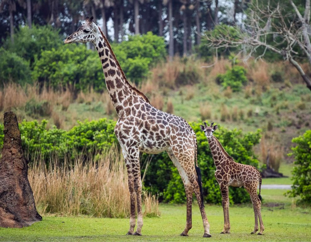 PHOTO: A 2-month-old male Masai giraffe named Jabari, right, has officially joined the giraffe herd.