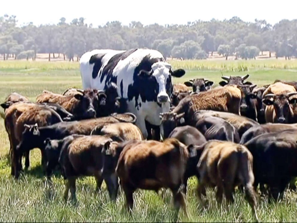 Australian Steer Stands at 6 Feet 3 Inches