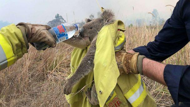 Fundraisers skyrocket to help koalas dying in Australia