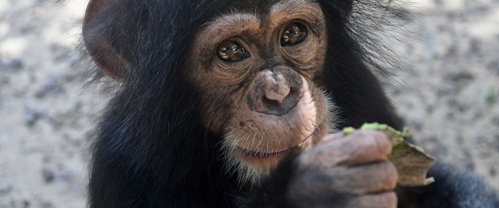 PHOTO: Leo eats palm nuts at Liberia Chimpanzee Rescue & Protection in West Africa.