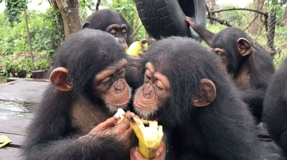 PHOTO: Leo sharing food with one of his new sanctuary friends at Liberia Chimpanzee Rescue & Protection in West Africa.