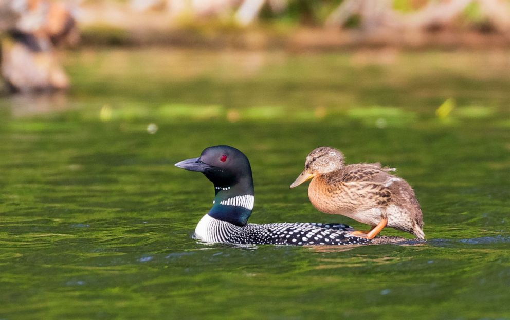 PHOTO: The duckling has adopted some loon traits like standing on its adoptive parents back in the water.