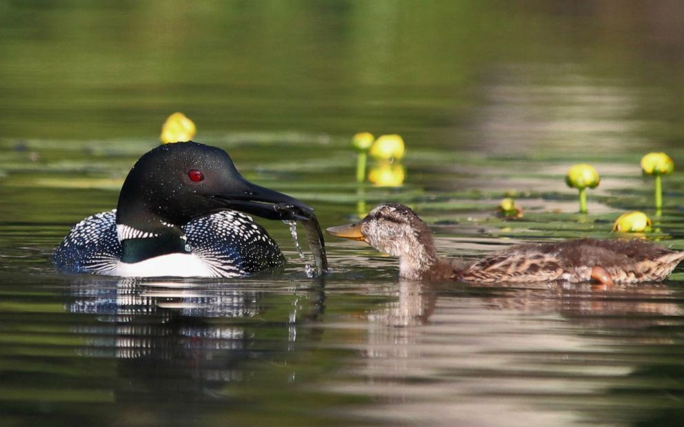 PHOTO: The loons have also taught the duckling how to dive for food and eat from their mouths, which is virtually unheard of for mallards.