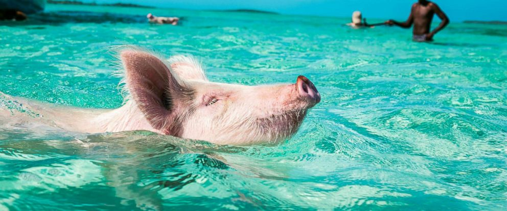 "PHOTO: One of the famous ""swimming pigs"" is seem here."