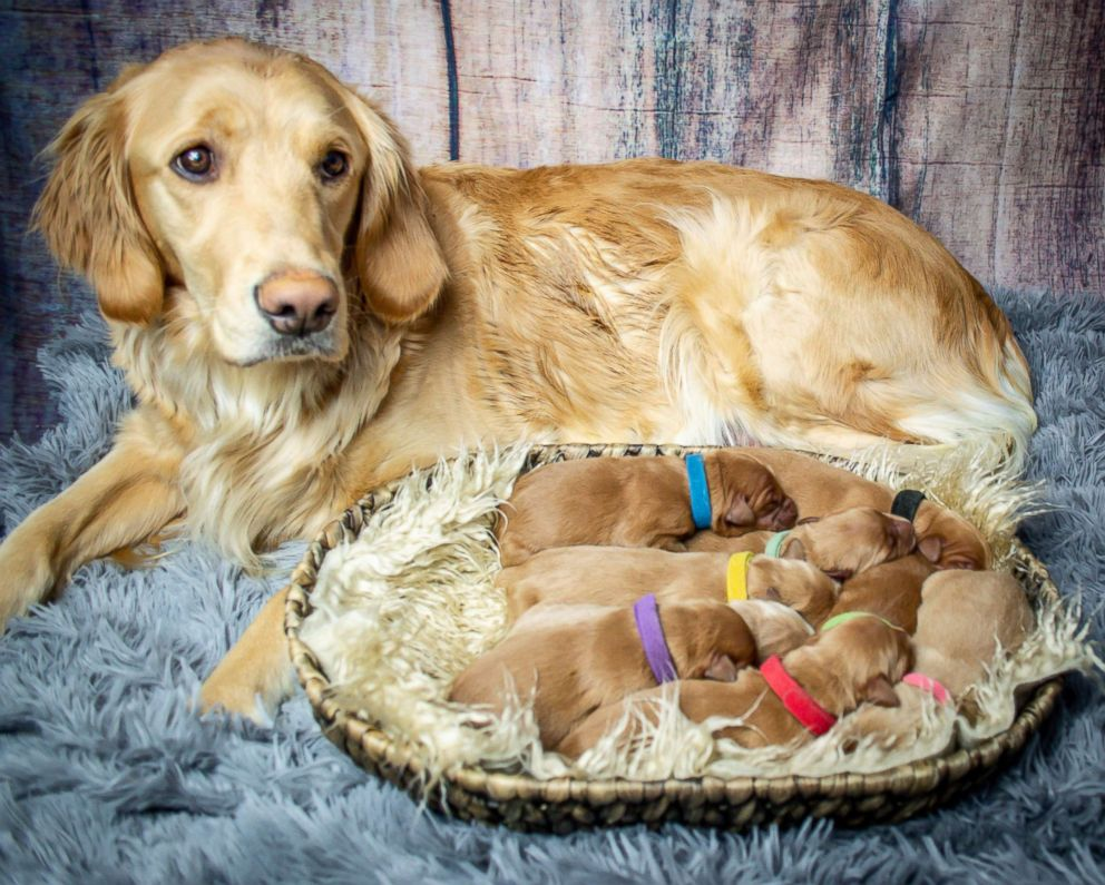 PHOTO: Kodie, a 2-year-old Golden Retriever, was due to have her puppies on Jan. 9, 2019, but gave birth on Jan. 14, 2019.