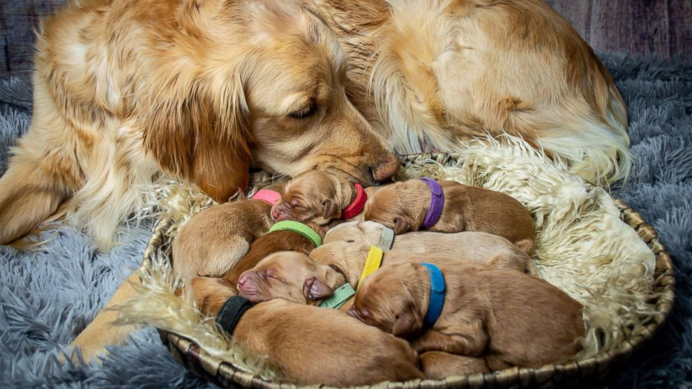 Chelsie Garrels of Montana, recently snapped images of her Golden Retriever Kodie and her new puppies.