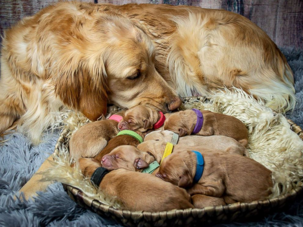 PHOTO: Chelsie Garrels of Montana, recently snapped images of her Golden Retriever Kodie and her new puppies.