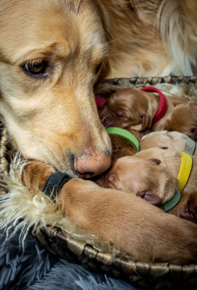 PHOTO: Kodie, a 2-year-old Golden Retriever, recently welcomed 5 boys and 4 girl puppies in Montana.