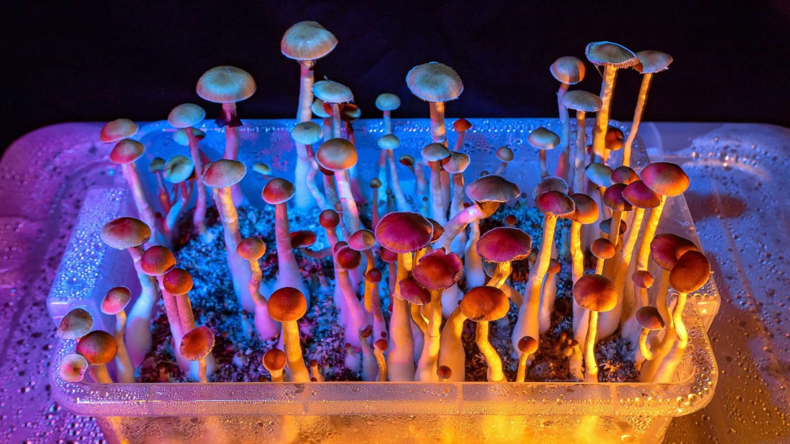 Santa Cruz decriminalizes psychedelic mushrooms - ABC News