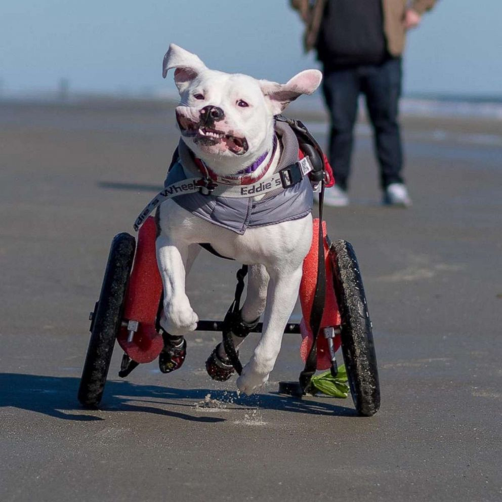 PHOTO: Pigeon was in a car accident that paralyzed her back legs, but her unbridled joy running with and without her wheelchair has made her story go viral.