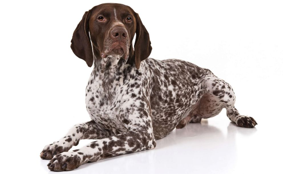 German Shorthaired pointer are No. 9 on the AKC's most popular dog breeds of 2018.