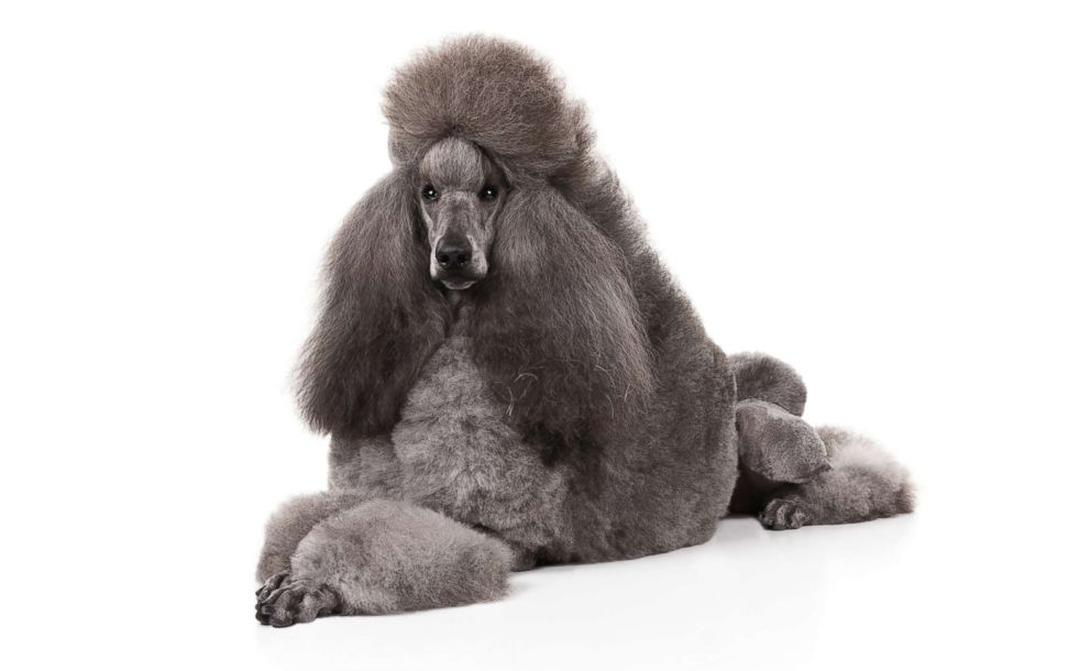 Poodles are No. 7 on the AKC's most popular dog breeds of 2018.