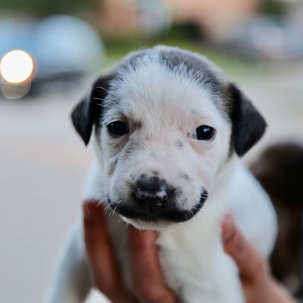 Goede This adorable puppy with a mustache is up for adoption and could YH-17