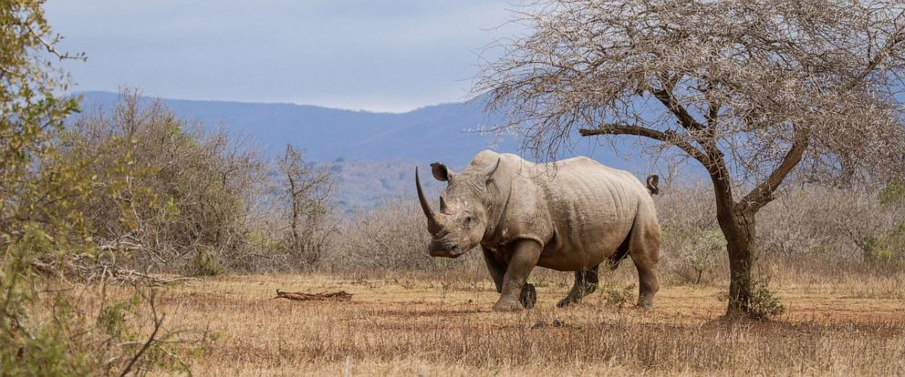 PHOTO: A rhinoceros is seen here in a stock photo.