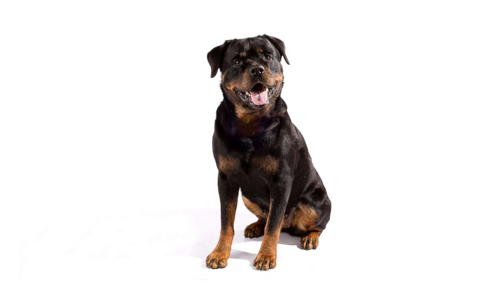 PHOTO: Rottweilers are No. 8 on the AKCs most popular dog breeds of 2018.