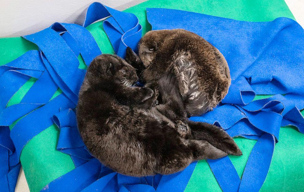 PHOTO: The sea otter pups sleeping.