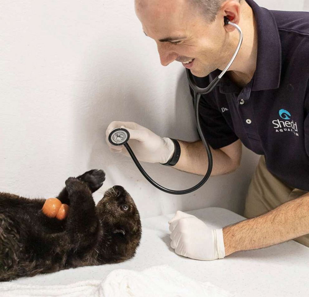 PHOTO: The sea otter pups receive a checkup from an Shedds animal care team member.