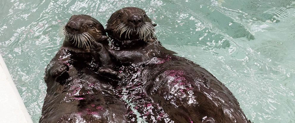 PHOTO: Chicagos Shedd Aquarium will host a public vote to name two of its most recent rescued sea otter pups, temporarily referred to as Pups 870 and 872.
