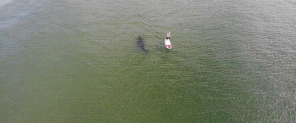 PHOTO: Cody DeGroff took a photo of Roger Freeman paddleboarding off Cape Cod alongside a large shark.