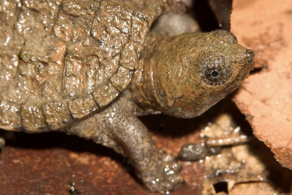 PHOTO: A snapping turtle is pictured in this undated stock photo.