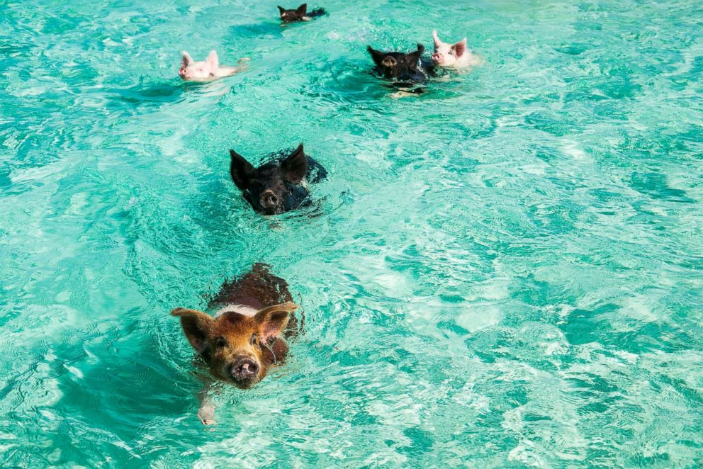 PHOTO: The famous swimming pigs are seen here.