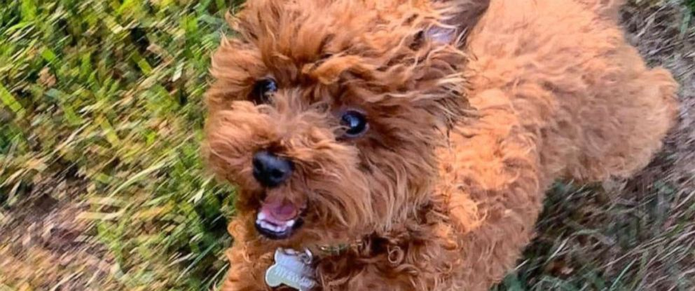 "PHOTO: Tory Burchs dog ""Chicken"" has returned home after she went missing on Oct. 6, 2019."